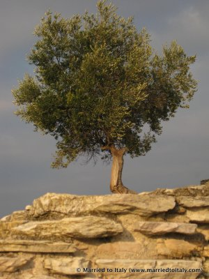 olive tree in Sirmione 2009