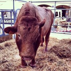 famous vacche rosse